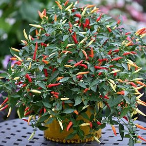 Basket of Fire Red Chile Pepper - 10 Seeds - First Hanging Pepper Plant